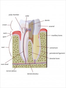 Root Canal Basics Loganville Dentist